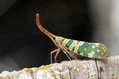 Изображение Pyrops candelaria или мухы фонарика Стоковые Изображения RF