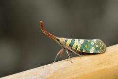 Изображение Pyrops candelaria или мухы фонарика Стоковое фото RF