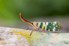Изображение Pyrops candelaria или мухы фонарика Стоковая Фотография