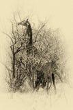 Изображение Sepia жирафа есть листья Стоковое Изображение