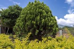 Изображения дерева острова Samosir Стоковое фото RF