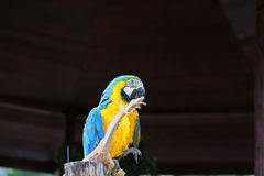 Изображения красивого покрашенного попугая в зоопарке, Азии Стоковые Фотографии RF