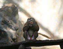 Изображения обезьян на зоопарке в Таиланде, Азии Стоковое фото RF