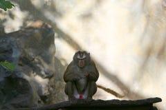 Изображения обезьян на зоопарке в Таиланде, Азии Стоковая Фотография