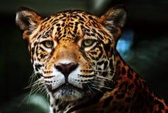 изображения профиля ягуара стоковые изображения
