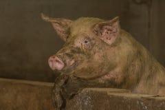 Изображения свинeй Стоковое фото RF
