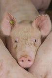 Изображения свинeй Стоковая Фотография RF
