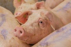Изображения свинeй Стоковое Изображение
