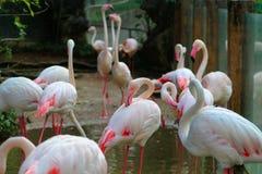 Изображения фламинго на зоопарке в Таиланде, Азии Стоковое Изображение RF
