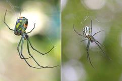 2 изображения штабелированных фокусом паука одного сада Venusta от верхней части Стоковое Изображение RF
