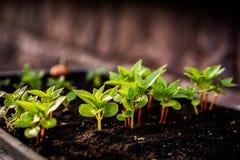 изображения экологичности принципиальной схемы еще многие мое портфолио Саженец растет от плодородной почвы Малая глубина поля Мо стоковые фотографии rf