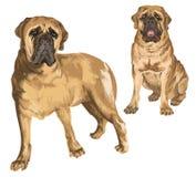 2 изображения mastiff Стоковые Изображения RF