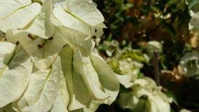Изобразите цветки бугинвилии которые смотрят здоровыми и излучающими стоковое изображение rf
