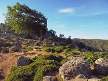 Изогнутая зеленая форма оливкового дерева странная и mou больших камней corsician Стоковая Фотография