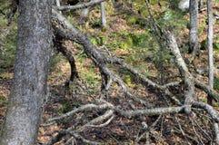 Изогнутое дерево в Mont Tremblant стоковая фотография rf