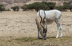 Изогнутое horned nasomaculatus аддакса аддакса антилопы одичалый родной вид пустыни Сахары Стоковые Изображения RF