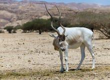 Изогнутое horned nasomaculatus аддакса аддакса антилопы одичалый родной вид пустыни Сахары Стоковые Изображения