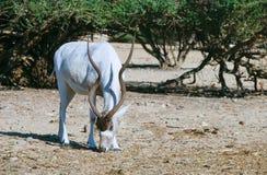Изогнутое horned nasomaculatus аддакса аддакса антилопы Стоковые Изображения