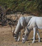 Изогнутое horned nasomaculatus аддакса аддакса антилопы Стоковое Фото
