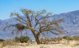 Изогнутое horned nasomaculatus аддакса аддакса антилопы Стоковая Фотография RF