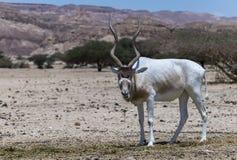 Изогнутое horned nasomaculatus аддакса аддакса антилопы Стоковое фото RF