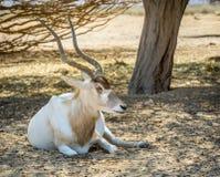 Изогнутое horned nasomaculatus аддакса аддакса антилопы Стоковые Фотографии RF