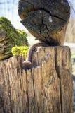 Изогнутый и ржавый ноготь на деревянной конструкции планки стоковые фотографии rf