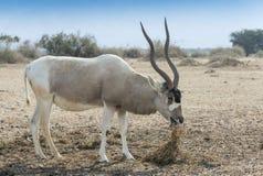 Изогнутый horned аддакс антилопы Стоковая Фотография RF