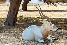Изогнутый horned аддакс антилопы (nasomaculatus аддакса) в заповеднике около Eilat, Израиля Стоковая Фотография
