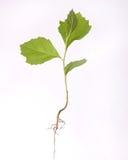 изолированная белизна вала сеянца корня Стоковое Фото