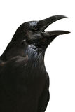 изолированная белизна ворона Стоковые Фото