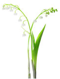 изолированная белизна долины лилии Стоковые Фотографии RF