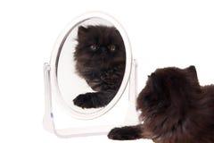изолированная белизна зеркала котенка перская стоковое фото