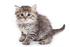 изолированная белизна котенка Стоковое Фото