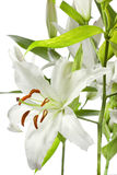 изолированная белизна лилии Стоковые Изображения RF