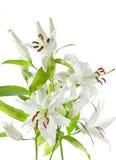 изолированная белизна лилии стоковое изображение rf