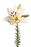 изолированная белизна лилии Стоковое Изображение