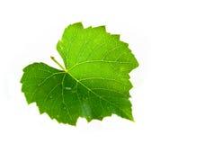 изолированная белизна лозы листьев Стоковые Изображения RF