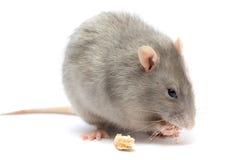 изолированная белизна мыши стоковые фото