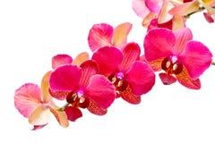 изолированная белизна орхидеи пурпуровая Стоковое Фото