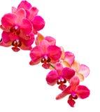изолированная белизна орхидеи пурпуровая Стоковая Фотография RF