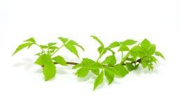 изолированная белизна поленики листьев Стоковое Изображение