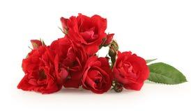 изолированная белизна розы красного цвета Стоковое фото RF