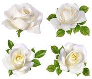 изолированная белизна розы Стоковые Фото