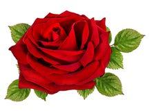 изолированная белизна розы Стоковое фото RF