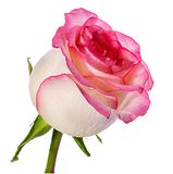 изолированная белизна розы Стоковая Фотография RF