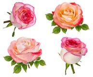 изолированная белизна розы Стоковое Изображение RF