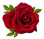 изолированная белизна розы Стоковая Фотография