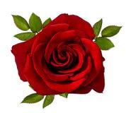 изолированная белизна розы Стоковые Фотографии RF