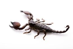 изолированная белизна скорпиона стоковая фотография rf